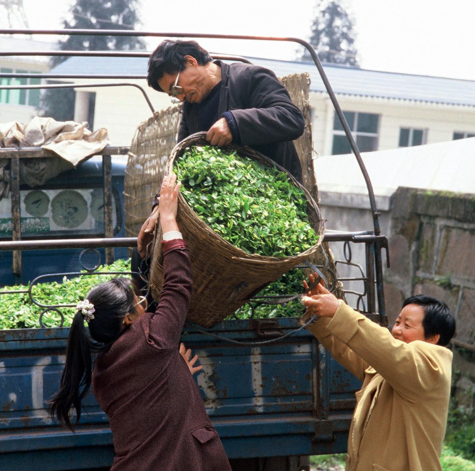 Tea Harvest Meng Ding