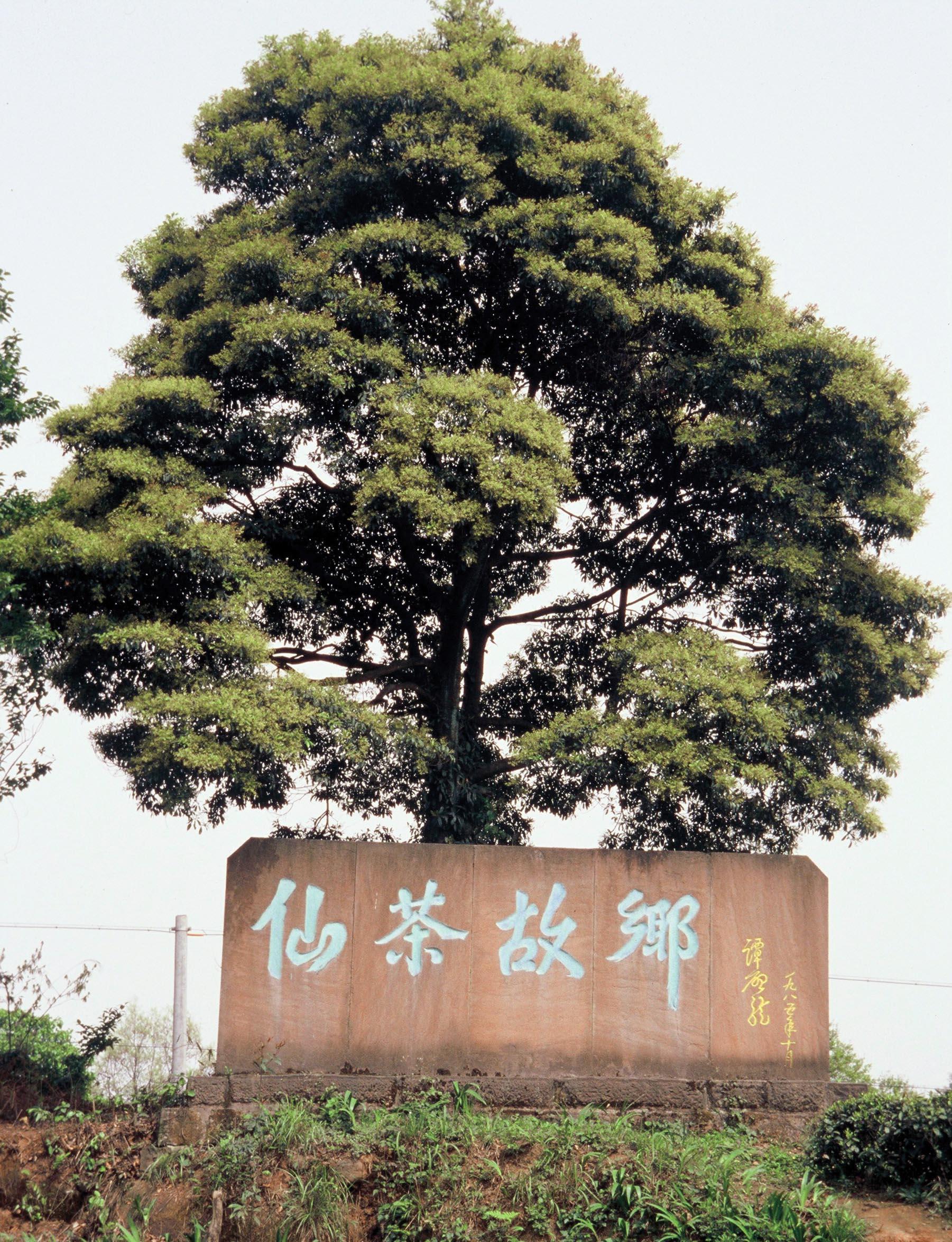 Tea Tree Sichuan