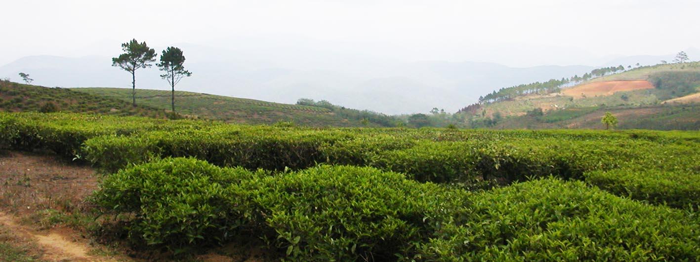 tea gardens Dalat