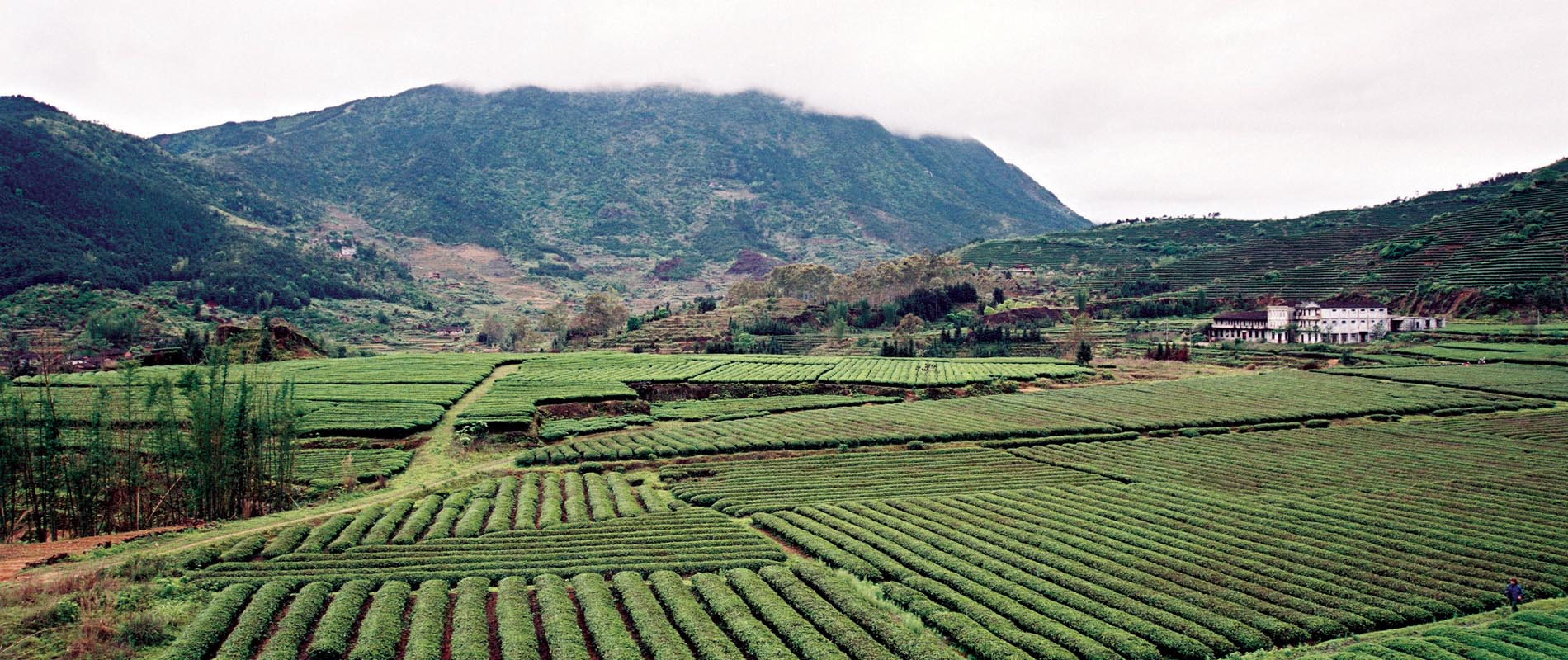 Oolong Tea Gardens in Fujian