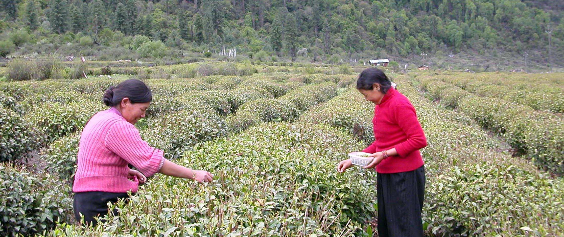 Tibetan Tea Pluckers